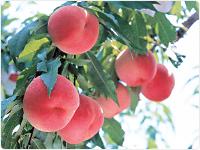 今が旬「桃」