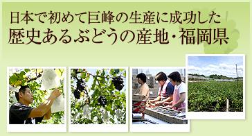 日本で初めて巨峰の生産に成功した歴史あるぶどうの産地・福岡県